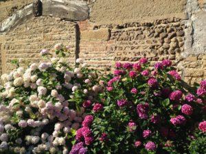 Un été fleuri à Mogneneins ! Hortensias Montée des Avaneins à Mogneneins