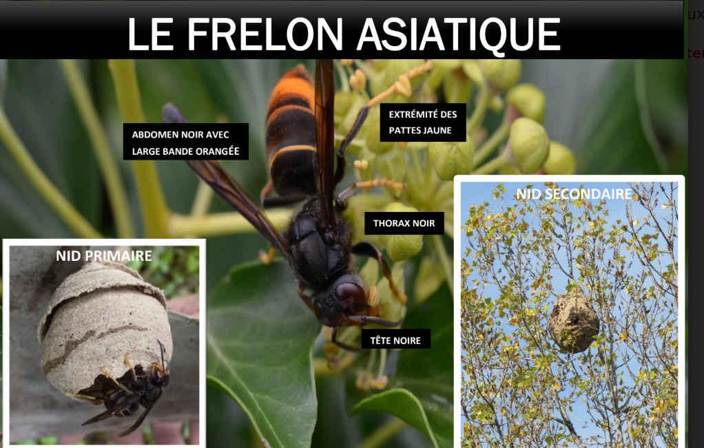 Frelon asiatique : campagne de prévention